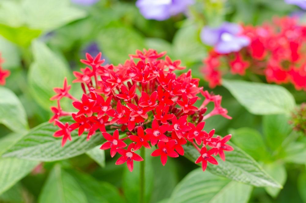 Egyptian Star Flowers